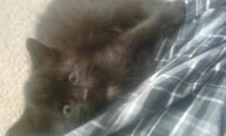 KITTENS are now 4 months old and have not found them a good home. my roommate is allergic to them and we dont have the heart to bring them to the SPCA because they are at CAPACITY for cats and kittens and will most likely put them down, even though they