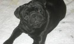 We have for sale a handsome 4 year old black male Pug. He is not overweight at all and has no health problems. He is NOT crate trained. We got him about 3 months ago and discovered that our son is allergic so we cannot keep him. He's a really nice dog and