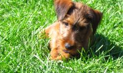 **We have two absolutely adorable registered female Irish Terrier puppies that are ready for a good forever home. Veterinary checked they have received their first and second vaccination, dewormed, tails and dew claws have been done. These are a
