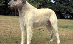 Irish Wolfhound Puppies available first week of February.  Male is CKC reg'd grey.  Female is AKC reg'd wheaton.  Both parents available for viewing.  Wonderful family dogs - great with children.  Puppies are home raised and well socialized.  Dewclaws
