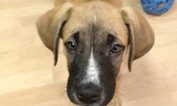 Jack is a 2 month old male Mastiff mix available for adoption through Manitoba Underdogs Rescue. - up to date on vaccinations - crate trained - doing very well with housebreaking Jack has typical puppy energy, but is very laid back and chill. He LOVES to