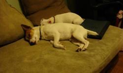 FEMALE(LOLA 1YR OLD) JACK RUSSEL/CHIHUAHA MALE (GIZMO 1 1/2 YRS OLD) PURE BRED JACK RUSSELL $100 EACH $150 FOR BOTH EMAIL OR CALL 519-520-3331