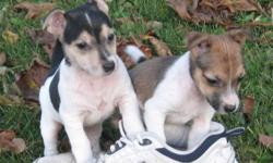 Can I Come and Live with You? Hi, That's me with my brother, I'm the brown and white one, he's black and white with some tan on his face...we're playing with a size 11 running shoe.  He's got his whole tail... We're both really cute and love to play!