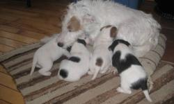 Pure bred Jack Russel Puppies, first vacinations and deworming ready for you Jan 21. Four females available. Please contact me for details.