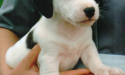Jack russel pup for sale. 12 weeks old, vet checked, 1st shots. Dewormed. Only 1 male left. Call Rufus at 705-724-9546.