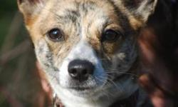 Jade is a 1-year old Jack Russell mix. She is spayed and vaccinated. Jade is shy at first, but give her a treat and play with her, and she is your best friend. She will need some socialization, but is overall a very sweet thing. She is good in her kennel
