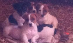 Short haired short legged Jack Russell puppies for sale very sweet natured three females and one male. This ad was posted with the Kijiji Classifieds app.