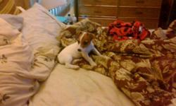 Female jack russell puppy ready for new home. first shots, dewormed, flea treated. dew claw removed and tail docked. great temperment, gets along well with other dogs. call or email.