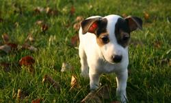 Two adorable male Jack Russell Terrier puppies ready to go, tri colored, smooth coat, tails docked, hand raised, great temperament, highly intelligent, full of personality.