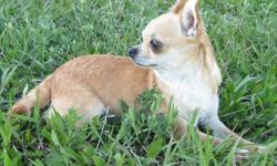 VISIT OUR WEB SITE BEFORE CONTACTING US PLEASE. READ THROUGH THE WEB SITE AND THEN CONTACT US WITH YOUR QUESTIONS. www.joneschihuahuas.com Copper is being retired from our breeding program and needs to go to a quiet home with out young children or sold