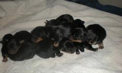 Jorkie Puppies,  (Jack Russell X Yorkie) will be ready to go Jan 8, 2012, females and  males. Last picture is of one that we sold and is full grown. They are a happy, healthy, playful, faithful, and fun loving dogs.  Great with kids Tails docked,