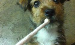 Jorkie Puppies,  (Jack Russell X Yorkie) 4 females, will be ready to go in Jan 2012, 1st picture is of one that we sold and is full grown. They are a happy, healthy, playful, faithful, and fun loving dogs.  Great with kids Tails docked, dew-claws removed.