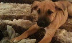 Joy is a 2 month old female Mastiff mix available for adoption through Manitoba Underdogs Rescue. - up to date on vaccinations - crate trained - doing very well with housebreaking Joy is a very sweet girl, and is very smart. She loves playing and