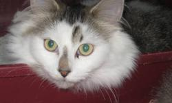 Hello my name is Joy I am a very cute and cuddly girl. I will come off shy ,but soon will roll over for belly rubs . I am spayed with shots and will come with my vet papers . If you are interested in me I will be at the Oxbury Mall at Oxford & Highbury