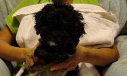 Cute, black, white and tan female cockapos They will probably grow to the size of a toy poodle. Price $300  telephone (902) 489-7784