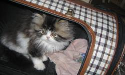This little guy is very pretty. He is a brown tabby and white, had his first vet check and needles, ready to go to his for ever home. Mother and dad are on site and on my website at http://www.littlesecrets.ca   I give a one year health guarantee, and you