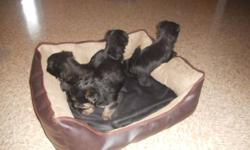 4 adorable little puppies ready to go to good homes Dec 18, 2011.  4 male   Will have 1st shots.
