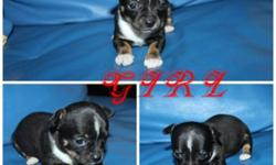 """WE HAVE NEW LITTER OF 3 SO TINY T-CUP CHIHUAHUA PUPPIES! ONLY 1 TINY BOY & 1 CUTE GIRL AVAILABLE . THEY JUST PERFECT! WITHOUTH SHOT $650 /EACH . NOW 5  WEEKS OLD NOW! UP-DATED ; WHITE WITH BLACK MASK LITTLE GIRL IS SOLD"""" THEY WILL BE AROUND 4 LBS OR """"LESS"""