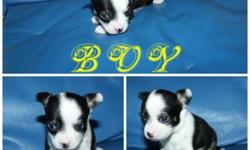 WE HAVE LITTER OF 3 SO TINY T-CUP ,APPLE HEAD CHIHUAHUA PUPPIES! ONLY 1 TINY BOY & 1 CUTE GIRL AVAILABLE . THEY JUST PERFECT! WITHOUTH SHOT $650 /EACH .NOW YOU SAVE $150 OF FROM THE ORIGINAL  PRICE !! NOW 6  WEEKS OLD NOW! UP-DATED ; WHITE WITH BLACK MASK