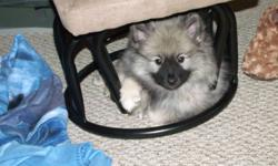Hi am selling a pure bred KEESHOND puppy, female, born november 10 2011, 8 weeks old. She is adorable, playfull, happy, loves kids of all ages, kittens, puppies. She is not fully potty trained but she is working at it. She needs a loving family with kids