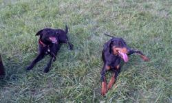 9 beautiful puppies, 5 female 4 male. The puppies have not had any shots taken thus the low price. They are crossed between a King Doberman and a Black Lab. The one on the left is the mother which is mine. The other my good friends king doberman. THEY