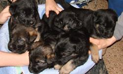 King Shepherd - German Shepherd Cross Puppies 6 Beautiful puppies, 4 females and 2 males.  Born December 16, 2011.  King Shepherd Mother, pure bred and German Shepherd Father, pure bred.  All puppies are big and healthy.  Parents and puppies born and