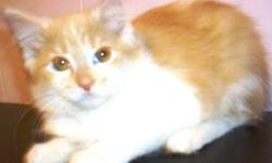 Kitten is just 8 weeks old and ready to come to your loving & committed home! They were born on 1 October , 2011 litter trained, healthy, playful Please call for more info 647-379-1092