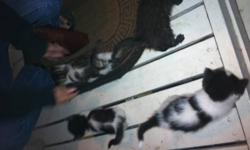 litter trained house kittens. 8-9 weeks old. On hard cat food. One solid charcoal grey boy Two black and white girls(sold) One tabby and white boy Playful balls of fluff handled daily 384-9805