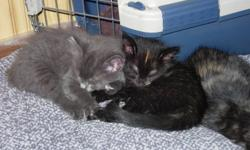 beautiful medium length haired black and grey tabby kittens. health guaranteed, already wormed, litter trained. great with kids and dogs.