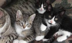 Litter of 3 very cute kittens ready to be adopted. Mom is half wild Norwegian cat, spoiling her kittens a lot. The first kitten is a gray tabby boy, he has beautiful body markings. He is the adventure type, loves to be hold and petted. The other boy is