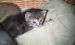 Kittens to give away to a good home.  They will be ready to go around Christmas.  Please email if interested...you can call but the kids never answer the beep and take messages and never relay them.