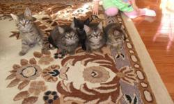 Adorable kittens for sale. Born on October. 11. Playful and great with kids. Litter trained. Ready to go to good home. We have 3 girls and two boys. Wont last long. Please call 604-855-6198.