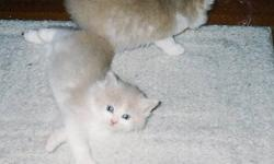 Loving home required for two adorable fluffy male kittens, beige & white, blue eyes; not ready to go until December 3, 2011.  Mother is a long-haired Calico (will also be looking for a loving home on December 24, 2011). Mom likes lots of attention.  Owner