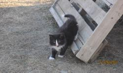 We have 6 kittens and ten young cats to give away. Black, grey, black and white and grey striped. We can bring to Swift Current. Call 306 264 3628
