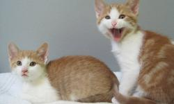 There are four beautiful cats in need of forever homes. The mother cat was abandoned by her previous owners when they moved and just left her outside, then she became pregnant and had four beautiful kittens. They are all now living in a foster home and