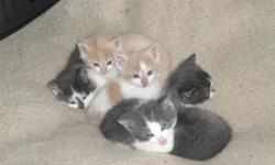 Kittens ready for a new home by end of Nov or beginning of Dec. Great Xmas idea for family wanting a new pet! 3 males left out of the litter! Please call 306-257-3366(hm) or 306-270-7748(cell) for more information.
