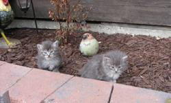 2 kittens to give away. Will be ready soon (about 6 weeks old right now). They have been eating soft and dry cat food for a few weeks. All kittens are litter trained. Call 384-5504 for more info, can't respond to emails.