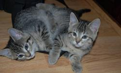 2 Adorable twin tabbies (females) needing a good home(s)   Ready to go!  If interested please contact Tia @ 780-538-9263
