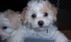 FIVE MALES AVAILABLE, LA CHONS ARE A BICHON FRISE/LHASA APSO MIX THEY ARE WONDERFUL PETS THAT ARE NON SHEDDING HYPO ALLERGENIC EASY TO TRAIN AS THEY ARE ALREADY PAPER TRAINED, AWESOME WITH CHILDREN. THEY HAVE BEEN VET CHECKED, DE WORMED AND VACCINATED AND