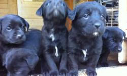 From a litter of 9 puppies, we have 6 left and ready to be re-homed! mother is chocolate lab, father is border collie/maremma (sheep dog). Both parents on site. 1st shot, and 1st deworming done on December 16. Good with children and very friendly around