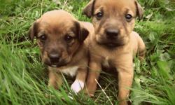 9 awesome little puppies the 2 brown pups are both girls + 3 rotti looking babes are all boys +3 black females + 1 black male ! 400$ 1st shots and deworming included :) family/farm raised -parents are here to meet// come pick your pup ! call or txt
