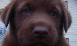 Black Lab Cross puppies, 1 white female with brown eyes, 1 black female with brown eyes, 1 black male with brown eyes and 1 brown male with 1 blue and 1 brown eye. eye colour may change as they get older