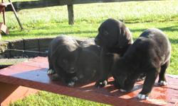 4 left , only the black ones very cute and playful 1 girl and 3 boys call 604 316 2622
