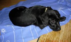 Lab cross puppy,male-black.Mather - lab/vizsla cross.Father-lab/golden retriever cross.Vet checked,first and second shots and dewormed.Farm raised and ready to go. Call:604-244-9922