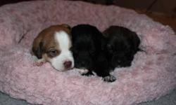 lab crossed with bernise moutain dog puppies for sale, call if any questions 6047956283