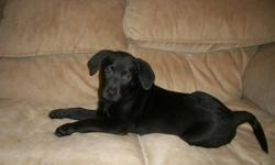 ONE LITTLE GIRL LEFT FROM A LITTER OF 9 ALL BLACK AND VERY NICE WOULD MAKE A WOUNDERFULL FAMILY PET $200.00 519 2042048