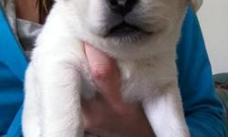 8 super cute healthy puppies for sale! (no shots or deworming) News paper trained at 2 weeks old, handled often by adults and children. Very friendly and playful (some lazy haha) Ready to go as of February 10th. Just in time for valentine's day :) Mom is