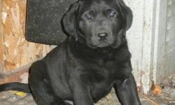 In STURGEON FALLS What a nice xmas gift. We have lab puppies for sale,  3 male black. Parents on sight. You get vet check, first needle and de-wormed. They are ready to go.You can call after 6:00 during the week and anytime on the weekend. Ask for Sylvie