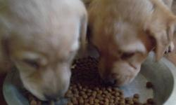the puppies are not yet 7 weeks old and are 325 each . There are 2 females available  They have gotten their shots and deworming . They are ready to go anytime! This ad is for a friend so call this number 519 400 6474 .