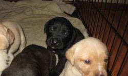 I have 2 Lab Puppies left!!! 2 Black with a white patch under there neck each is a different size patch. All are female. The mother is Black lab and bulldog mix and the father is pure breed yellow lab.The puppies are needle and dewormed.. They will be